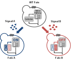 Dynamically reshaping signaling networks to program cell fate via genetic controllers