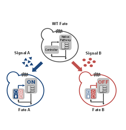 Cell fate circuits