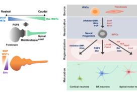 Modeling neurodegenerative diseases and neurodevelopmental disorders with reprogrammed cells